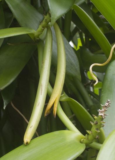 vanilla pods ripening