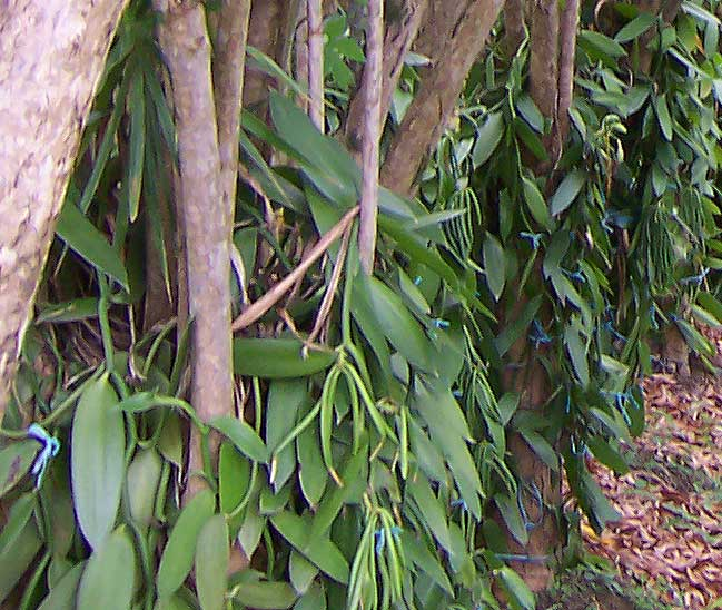 Detail of the vanilla growing on Dracaena
