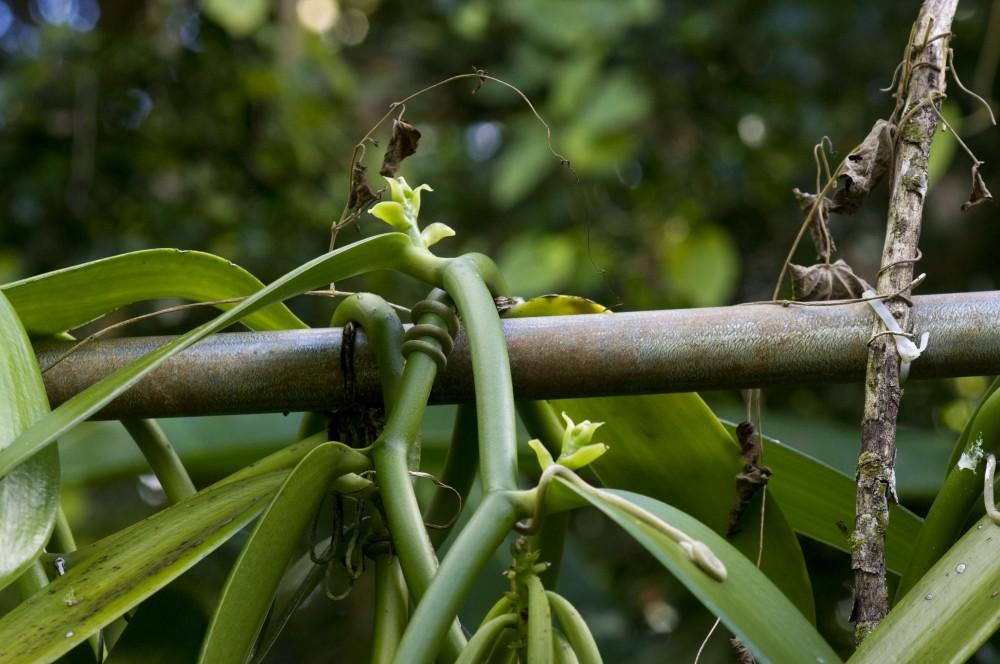 first vanilla buds